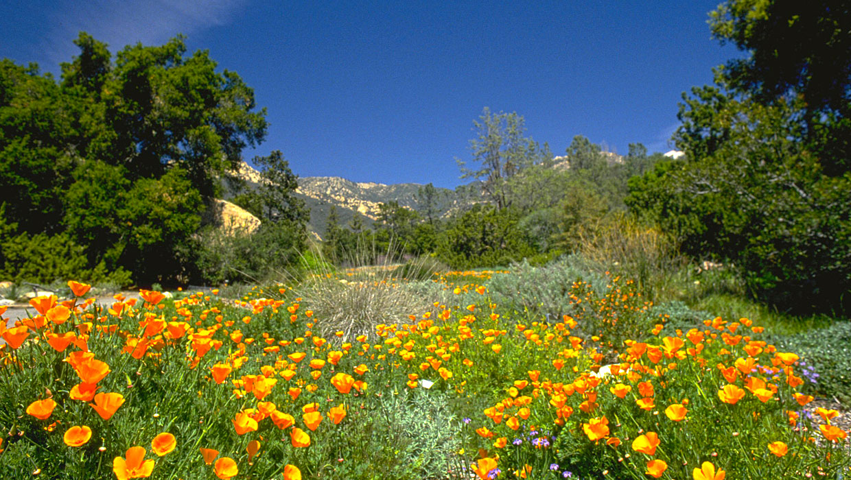 Santa Barbara Wildflowers